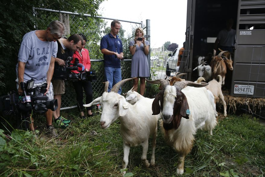 "Reporters photograph ""Eco-Goats"" as they are released from a trailer at Congressional Cemetery in Washington, Wednesday, Aug. 7, 2013. More than 100 goats will be taking over Washington's Historic Congressional Cemetery to help clean up brush in an area away from the graves. The goats will graze 24 hours a day for six days to eliminate vines, poison ivy and weeds, while also ""fertilizing the ground."" (AP Photo/Charles Dharapak)"