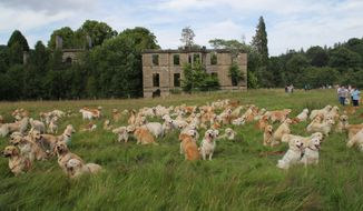 At least 222 golden retrievers were on hand for the breed's recent Club of Scotland gathering at their ancestral Guisachan House home. (Gordon Richardson/Golden Retriever Club of Scotland)