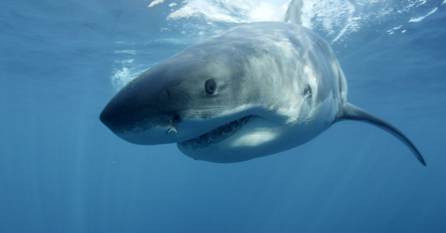 In this undated image provided by Discovery Channel, a great white shark swims near Guadalupe Island off the coast of Mexico. (Associated Press/Discovery Channel) ** FILE **