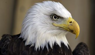 An American bald eagle (Associated Press) **FILE**