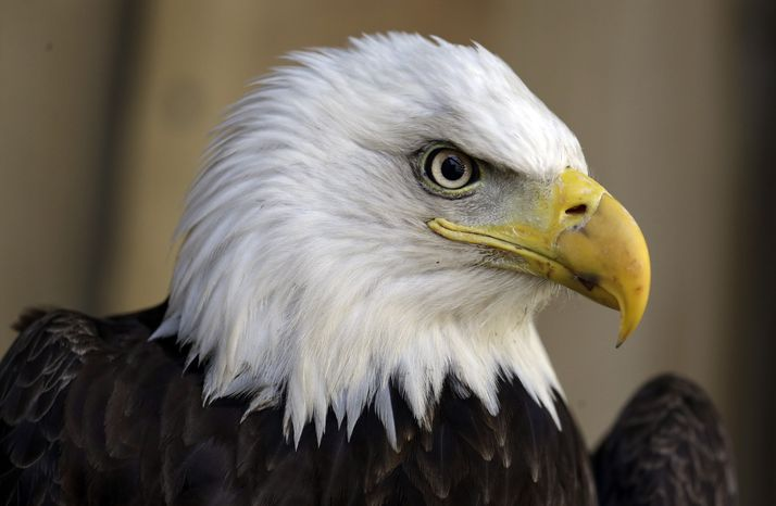 An American bald eagle (Associated Press) **FILE*