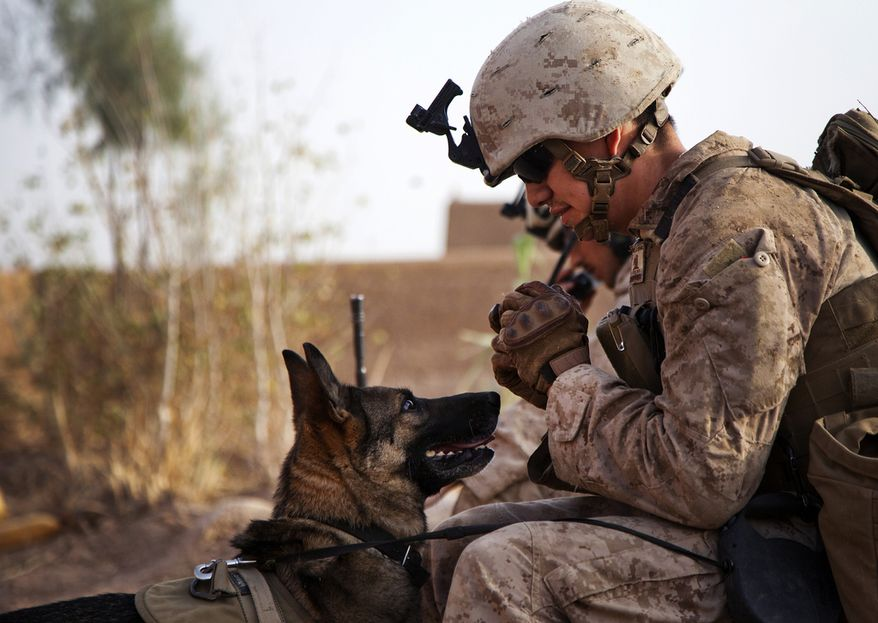 Lance Cpl. Joseph Nunez from Burbank, Calif., interacts with Viky, a U.S. Marine Corps improvised explosive device detection dog, after searching a compound while conducting counter-insurgency operations in Helmand province, Afghanistan, July 17, 2013. (credit U.S. Marine Corps)