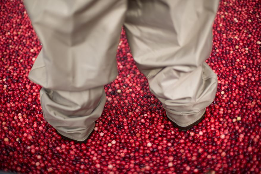 Jeff Lafleur, 45, and a Cranberry Farmer from Massachusetts,  stands in a man made cranberry bog, during an informational exhibit on cranberries, presented by Ocean Spray, outside of Union Station in Washington, DC., Tuesday, October 8, 2013.  (Andrew S Geraci/The Washington Times)