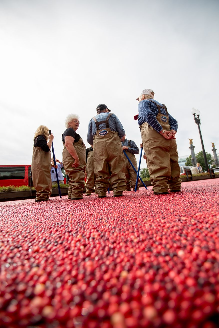Groups of visitors put on water resistant pants and learn how cranberries are farmed during an informational exhibit on cranberries, presented by Ocean Spray, outside of Union Station in Washington, DC., Tuesday, October 8, 2013.  (Andrew S Geraci/The Washington Times)