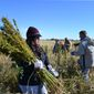 **FILE** Volunteers harvest hemp at a farm in Springfield, Colo., on Oct. 5, 2013, during the first known harvest of industrial hemp in the U.S. since the 1950s. America is one of hemp's fastest-growing markets, with imports largely coming from China and Canada. Most of that is hemp seed and hemp oil, which finds its way into granola bars, soaps, lotions and even cooking oil. (Associated Press)