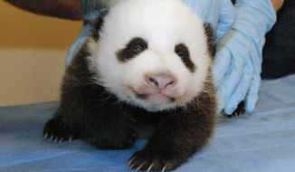 The National Zoo's panda cub underwent a physical Oct. 11 while the Panda Cam was dark and there was no news from the zoo. At the time of the exam mid-shutdown, the cub's eyes had partially opened and she was reacting to noises in the panda house. (Smithsonian National Zoo via Associated Press)
