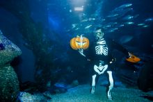 A diver in a skeleton costume feeds fish during a media opportunity to mark Halloween at the Sea Life aquarium in Berlin, Monday, Oct. 28, 2013. (AP Photo/Markus Schreiber)