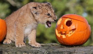 Karis, an 8-week-old lion cub, growls at a pumpkin as she explores a Halloween treat put in her enclosure by staff at Blair Drummond Safari Park near Stirling, Scotland, Tuesday, Oct. 29, 2013. (AP Photo/Andrew Milligan, PA Wire)