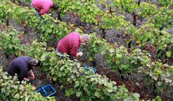 Workers collect red grapes in the vineyards of the Domaine de Chevalier near Bordeaux, southwestern France. Poor weather conditions have reduced wine output in Spain, Italy and France, the three largest wine-producing countries in the world. (ASSOCIATED PRESS)