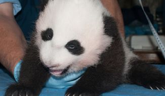 The Smithsonian National Zoo released this image of its giant panda cub during a checkup on Oct. 30.