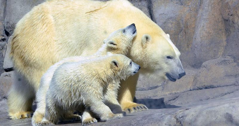 In this undated file photo provided by the Toledo Zoo, baby polar bear cubs Suka and Sakari, born in November 2012 are seen at the zoo in Toledo, Ohio. (AP Photo/The Toledo Zoo, File)