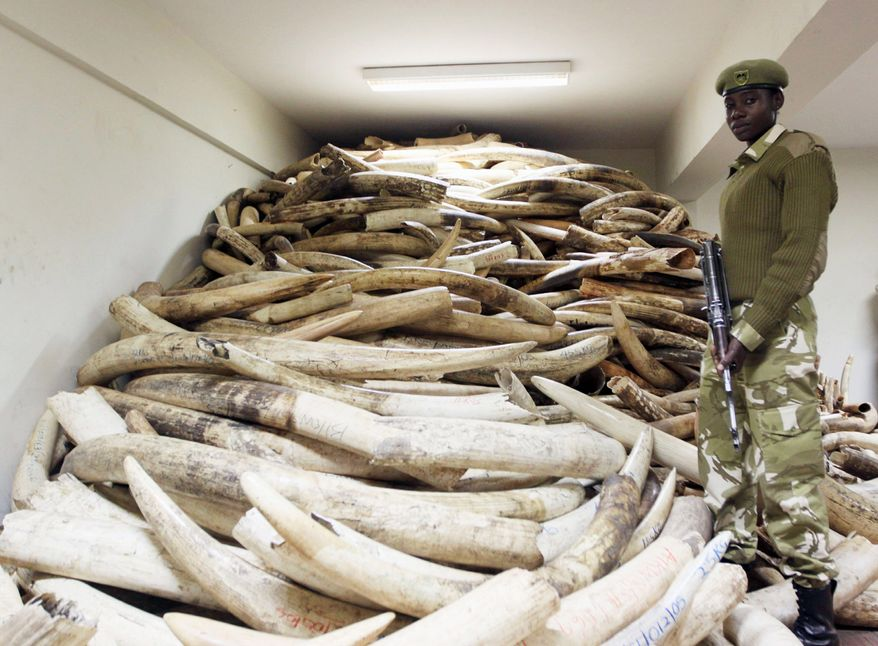 loot: A Kenya Wildlife Service warden guards elephant ivory that has been impounded. The tusks are a sign of an increase in poaching in Africa that is threatening the elephant population on the continent and bringing easy money to terrorists. (Associated press)
