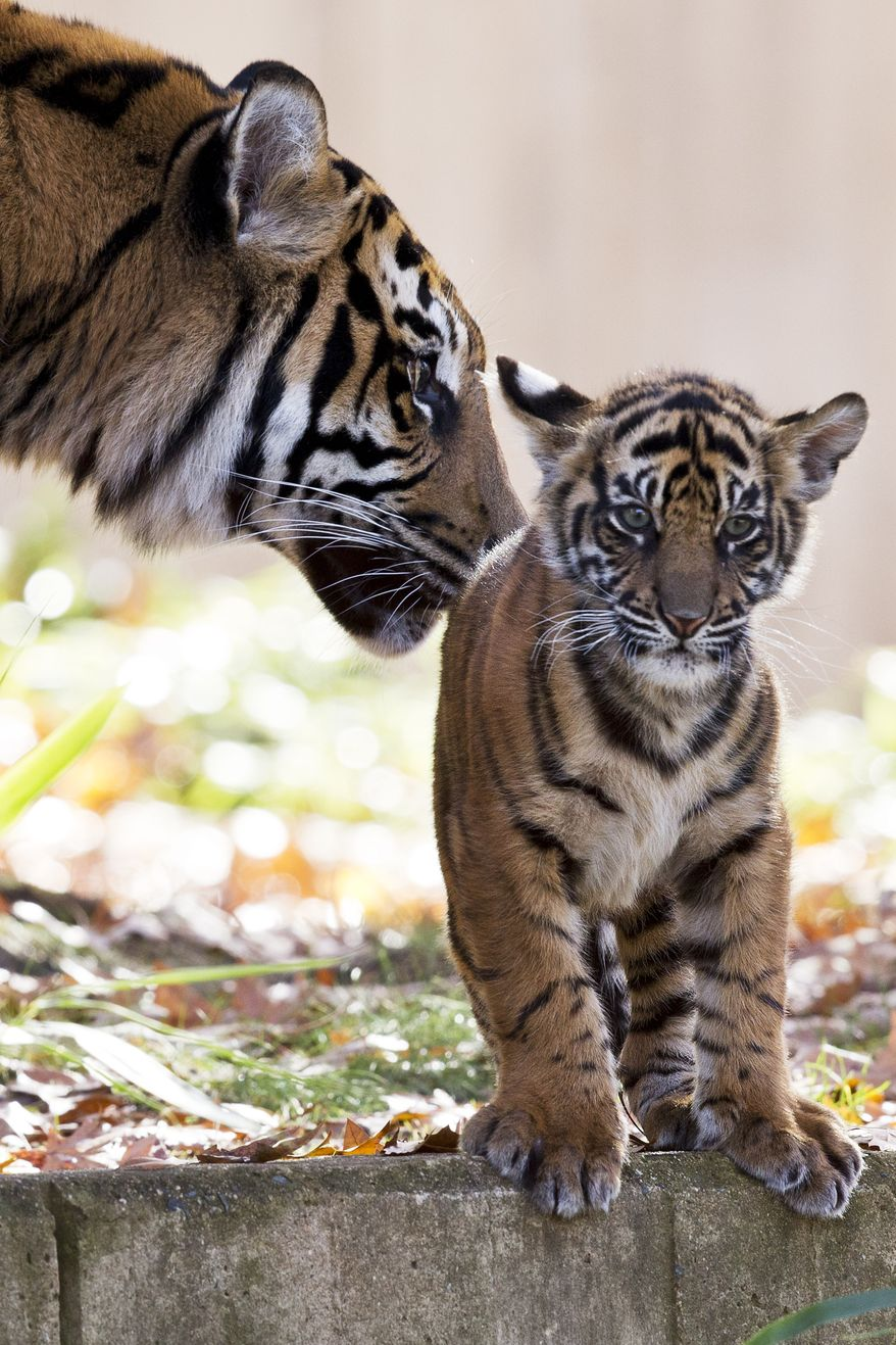 Mother Sumatran tiger Damai nuzzles one of her two cubs as the Sumatran tiger cubs make their public debut at the National Zoo in Washington, Monday Nov. 18, 2013. The cubs, who were born in August, are now on public view. (AP Photo/Jacquelyn Martin)
