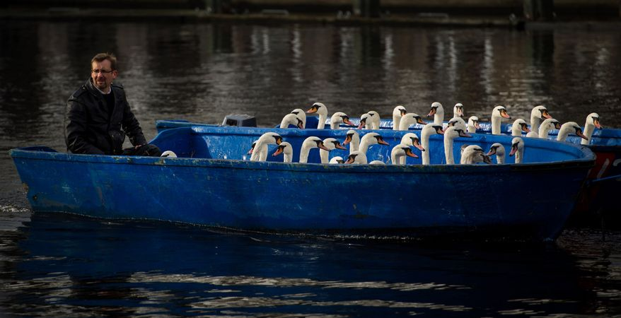 Municipal employee Olaf Niess, dubbed the Hamburg 'Swan Father'  transports swans in boats on the Inner Alster Lake in Hamburg,Germany, Wednesday Nov. 20,  2013.  The Alster  swans are caught every autumn, placed in boats and brought to their winter quarters in a nearby pond which stays ice-free during the winter. ((AP Photo/dpa,Maja Hitij)