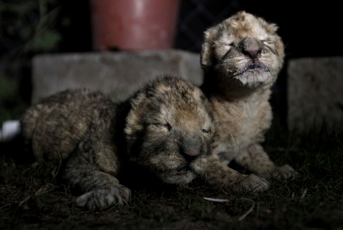 FILE - In this file photo taken Tuesday, Nov. 19, 2013, African lion cubs, Fajer, right, and his sister, Sejeel, left, rest after feeding at Besan Zoo in Beit Lahiya, northern Gaza Strip. Authorities said a pair of newborn lion cubs unveiled by Hamas as prized additions to the zoo in the Gaza Strip have died. Mohammad Abdel-Rahman, the acting manager of the Beit Lahiya zoo in northern Gaza, said Thursday the cubs died of an unspecified illness. He said the zoo's staff was unable to save them because they lacked experience in caring for newborn cubs. (AP Photo/Hatem Moussa, File)