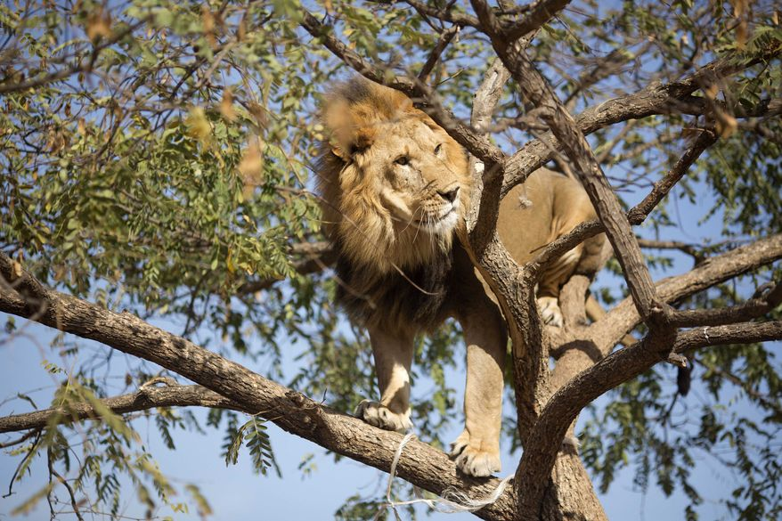 Salam, 5, an African lion, stands on the branches of a tree at the Ramt Gan safari near Tel Aviv, Israel, Tuesday, Nov. 26, 2013. Tree-climbing lions are relatively uncommon and are best known for their populations in Uganda's Queen Elizabeth National Park and Tanzania's Lake Manyara national Park.(AP Photo/Ariel Schalit)