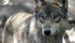 A gray wolf at the Wildlife Science Center in Forest Lake, Minn. (ASSOCIATED PRESS)
