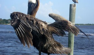 The Brown Pelican is one of the best known and most prominent birds found in the coastal areas of the southern and western United States. (Image: Wikimedia Commons)