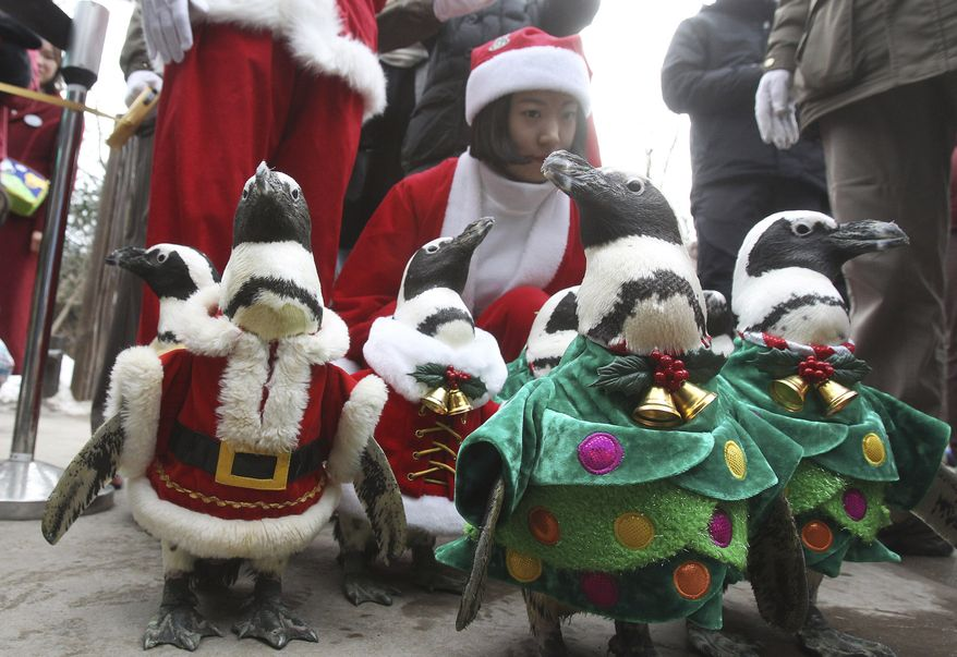 Penguins, dressed in Santa Claus and Christmas tree costumes, parade through spectators during a Christmas event at the Everland amusement park in Yongin, South Korea, Wednesday, Dec. 18, 2013. Christmas is one of the biggest holidays in South Korea as over half the population are Christians. (AP Photo/Ahn Young-joon)