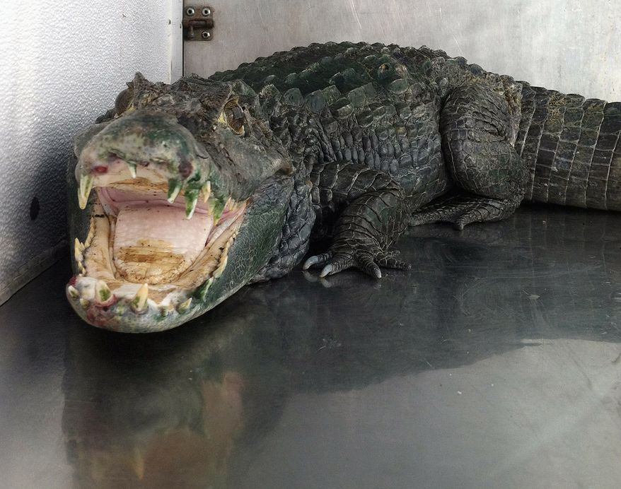 "In this photo released by the Alameda County Sheriffs office, an alligator named ""Mr. Teeth"" is seen after it was discovered in a home in Castro Valley, Calif., on Wednesday, Jan. 9, 2013. Authorities say the alligator, apparently used to protect a stash of marijuana inside the home, has been taken to a zoo. When deputies entered Assif Mayar's home on Wednesday for a probation check, they found 34 pounds of marijuana and the five-foot alligator in a tank in the bedroom. (AP Photo/Alameda County Sheriffs)"