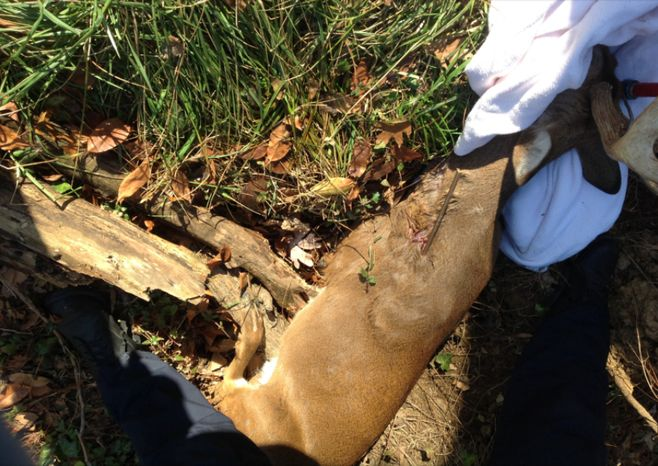 Animal control officers found a deer with an arrow wound in Southwest D.C. (Photo courtesy of the Washington Humane Society)
