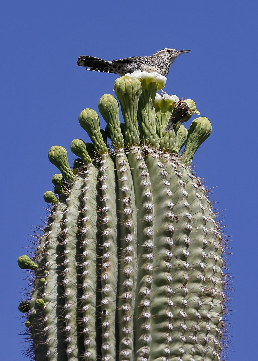 A cactus wren finds a perch atop a flowering saguaro cactus in Arizona. The popular desert plant also has become attractive to poachers and vandals. (Associated Press)