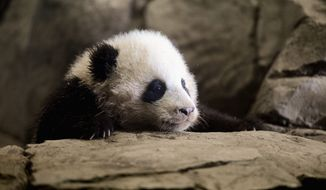 Bao Bao, the giant panda cub at the Smithsonian's National Zoo, will make her public debut Jan. 18. (ANDREW HARNIK/THE WASHINGTON TIMES)