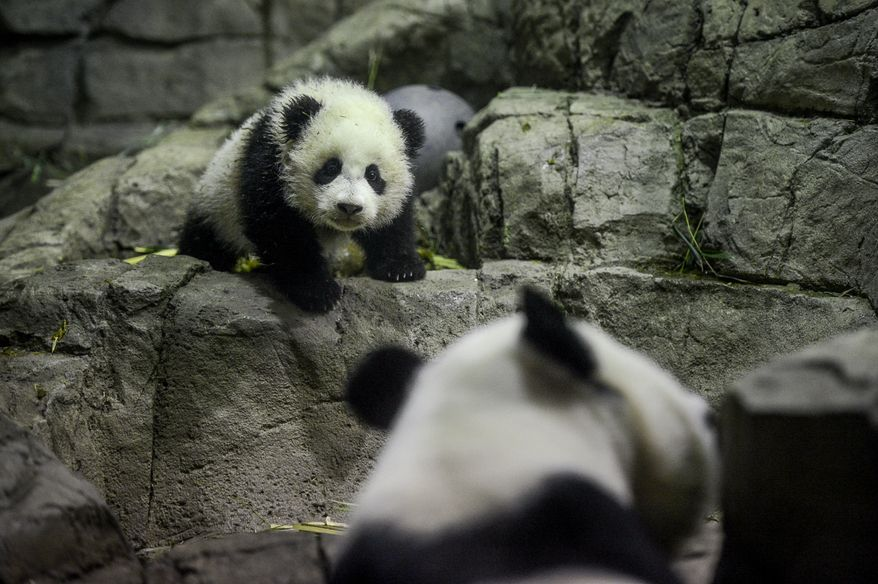 Bao Bao, a 4 1/2 month old giant panda cub weighing in at just under 17 pounds, looks at her mother, Mei Xiang, as she explores the giant panda indoor habitat at the National Zoo, Washington, D.C., Monday, January 6, 2014. (Andrew Harnik/The Washington Times)