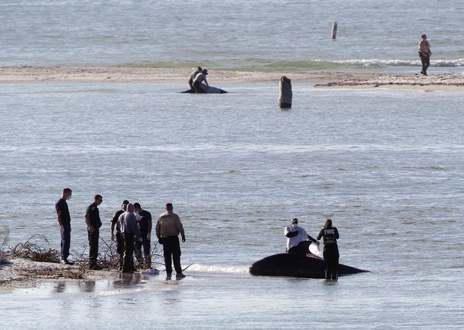 A beached pilot whale is tended to on New Pass south of Lover's Key on Monday, Jan. 20, 2014, in Lee County, Fla.  Two pilot whales died and a third would be euthanized after roughly four dozen whales swam into shallow w