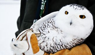 Aaron Bowden of the United States Department of Agriculture Wildlife Service holds a young female Snowy Owl caught at the Gerald R. Ford International Airport in Grand Rapids on Tuesday, Jan.  21 2014. Traps are being used to catch snowy owls alive at Gerald R. Ford International Airport after staff members shot nine in the last two months to ensure aircraft safety.  Snowy owls are out in force in Michigan and other parts of the Midwest this winter, thanks to a population boom in their Arctic breeding lands. Birdwatchers have reported spotting them more frequently than usual in several places around Michigan.  (AP Photo/The Grand Rapids Press, Andrew Kuhn ) ALL LOCAL TV OUT; LOCAL TV INTERNET OUT