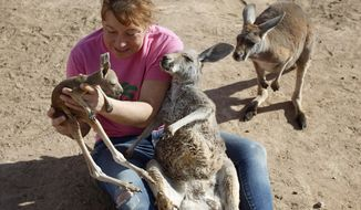 Valerie Holt examines a joey, or baby kangaroo, at the Roos-N-More Zoo in Moapa Town, Nev. Thursday, Jan. 23, 2014. Clark County code inspectors have shut down the popular animal attraction in the town 55 miles north of Las Vegas. The three-acre zoo was slapped with a cease and desist order after a Jan. 10 inspection that revealed several violations, mostly concerning the operation of a business on residential property. (AP Photo/Las Vegas Review-Journal, John Locher)