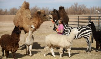 Valerie Holt feeds a carrot to a camel as other animals surround her at the Roos-N-More Zoo in Moapa Town, Nev. Thursday, Jan. 23, 2014. Clark County code inspectors have shut down the popular animal attraction in the town 55 miles north of Las Vegas. The three-acre zoo was slapped with a cease and desist order after a Jan. 10 inspection that revealed several violations, mostly concerning the operation of a business on residential property. (AP Photo/Las Vegas Review-Journal, John Locher)