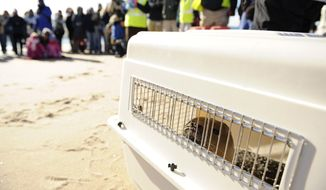 Carson, a female harbor seal pup, peers out from her transport crate before being released into the ocean by staff from the stranding program at Mystic Aquarium, Friday, Jan. 24, 2014 at Blue Shutters Beach in Charlestown, R.I., Carson, estimated to be around 7 to 8 months old, was rescued in Kennebunkport June 10 and brought to the aquarium two days later. Rescuers believe she was just a few days old when found.  (AP Photo/The Day, Sean D. Elliot)  MANDATORY CREDIT