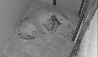 The Smithsonian National Zoo on Monday announced the birth of its first lion cubs in four years. (Photo courtesy of the Smithsonian National Zoo)
