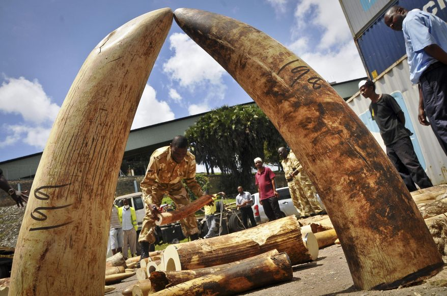 FILE - In this Tuesday, Oct. 8, 2013 file photo, Kenyan officials display some of more than 1,600 pieces of illegal ivory found hidden inside bags of sesame seeds in freight traveling from Uganda, in Kenya's major port city of Mombasa, Kenya. A Kenyan court sentenced a Chinese man Tang Yong Jian on Tuesday, Jan. 28, 2014 to seven years in jail, or a fine of about US$230,000, for ivory smuggling in the first case since the country passed a stringent new law to deter illegal trading in wildlife products. (AP Photo, File)
