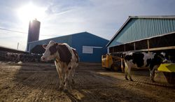 FILE - In this March 15, 2013 file photo, dairy cows stand near a barn on a farm in Billings, Mo. Farmers expressed relief this week that a long fight over federal dairy subsidies had ended with an overhaul that most thought would be fair and effective in keeping farms from going under during hard times. The House approved compromise legislation Wednesday Jan. 29, 2014, and a Senate vote is expected soon. (AP Photo/The Springfield News-Leader, Nathan Papes, File)