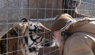 Joe Taft checks on one of the tigers at the Exotic Feline Rescue Center in Clay County near Center Point, Ind. Thursday, Jan 23, 2014.  Taft oversees one of the biggest feline sanctuaries in the country. Every year, thousands of visitors, from busloads of elementary school kids to senior citizens, pay for tours that, in turn, pay the bills. Critical reports issued over the past two years by state and federal agencies that oversee workplace conditions and animal containment facilities raise questions about the Exotic Feline Rescue Center and leave its future uncertain.   (AP Photo, Bloomington Herald-Times, David Snodgress)