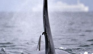 In this photo taken Jan. 18, 2014, a satellite-linked transmitter is visible on the dorsal fin of L87, an orca from the southern resident group of killer whales, while swimming in Puget Sound west of Seattle. Federal researchers say the satellite-linked tag offered new details on the movements of the endangered orca whale before it stopped transmitting data earlier this week. National Oceanic and Atmospheric Administration data shows the orca spent the past several weeks cruising throughout the Salish Sea and out to the Washington coast. (AP Photo)