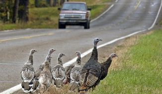 FILE - IN thbis Oct. 11, 2007 file photo, a family of wild turkeys search for food along a road in Bismarck, N.D. North Dakota's Game and Fish Department is offering 5,880 wild turkey licenses for the 2014 spring hunting season, a decrease of 50 from last year. The season opens April 12 and continues through May 18.  (AP Photo/The Bismarck Tribune, Tom Stromme, File)