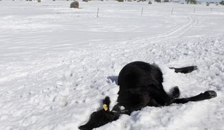 FILE - In this Oct. 7, 2013 file photo, a dead cow lies in the snow along Highway 34 east of Sturgis, S.D., another casualty of the early October blizzard. A state program in South Dakota that subsidizes livestock loans for ranchers with limited equity is offering a lowered interest rate to producers hit hard by the blizzard. Qualifying ranchers in 25 counties declared a federal disaster because of the storm that killed more than 40,000 cattle, sheep and horses are eligible for an interest rate of 2.75 percent.  (AP Photo/Rapid City Journal, Kristina Barker, File)
