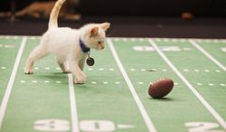 "This Oct. 2013 photo provided by Crown Media United States, LLC shows Snowball playing during the ""Kitten Bowl."" The ""Kitten Bowl"" games air on Sunday, Feb. 2, 2014, 12 p.m. ET/PT on the Hallmark Channel.  (AP Photo/Copyright Crown Media United States, LLC, Monique Toro)"