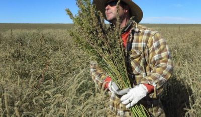 Derek Cross in Springfield, Colo., helps with the first known harvest of hemp in more than 60 years. The federal farm bill reverses decades of prohibition for hemp cultivation and restores a fee on home heating oil with a provision slipped into the legislation. (Associated Press)