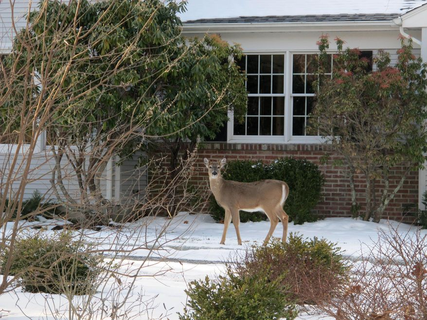 In this Friday, Jan. 31, 2014 photo, a deer walks across the front lawn of a home in Southold, N.Y. Officials on eastern Long Island are considering ways to stem the growing population of white-tailed deer. Southold town officials are proceeding with a planned cull of up to 1,000 deer, although several other eastern Long Island towns have opted against the cull. (AP Photo/Frank Eltman)