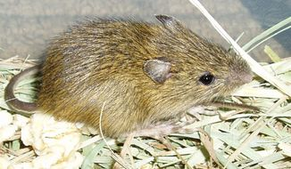 **FILE ** In this undated file photo, provided by the Center for Native Ecosystems, shows a rare jumping mouse. The tiny Preble's meadow jumping mouse took center stage again Monday, Sept. 18, 2006, as a House committee scheduled a field hearing on the debate over whether it is a separate species entitled to federal protection. (AP Photo/Center for Native Ecosystems, Anne Ruggles)