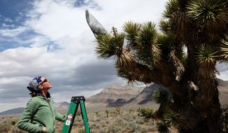 Field assistant Candace Fallon introduces Yucca moths to blooms on Joshua trees in the Mojave Desert during research on April 7, 2011.  A century from now, the Mojave Desert's iconic plant could be pushing its way into new territory or teetering on the brink of extinction. This spring, a pair of researchers will go looking for clues to the Joshua tree's fate in a lonesome valley 140 miles north of Las Vegas.   (AP Photo/Las Vegas Review-Journal, Jessica Ebelhar)
