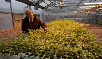 Washington State University biochemist Norman Lewis inspects cuttings from genetically engineered poplars in a Western Washington greenhouse, Jan. 13, 2014.  Lewis and his colleagues goal is to turn poplars into living factories that churn out modest levels of chemicals with premium price tags. (AP Photo/The Seattle Times, Greg Gilbert) OUTS: SEATTLE OUT, USA TODAY OUT, MAGAZINES OUT, TELEVISION OUT, SALES OUT. MANDATORY CREDIT TO: GREG GILBERT/THE SEATTLE TIMES.