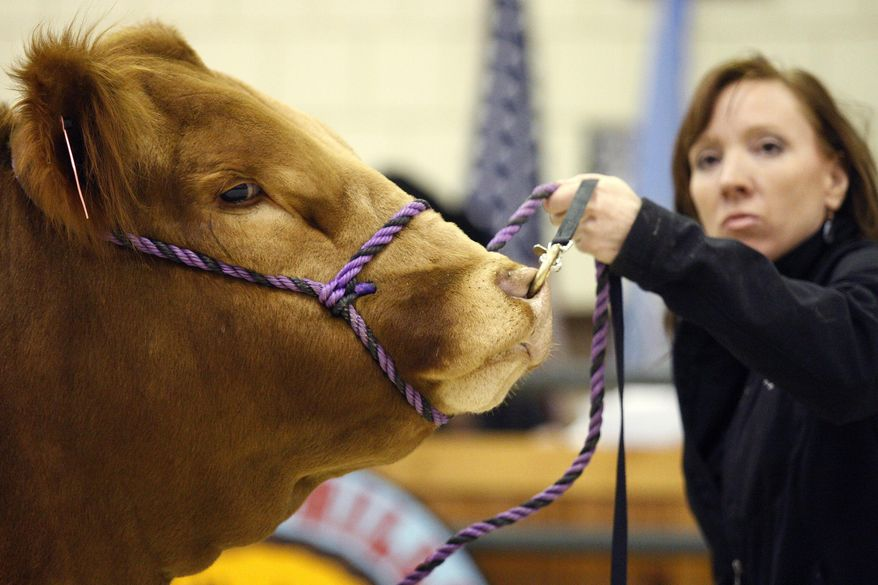 In this Friday, Feb. 7, 2014 photo, Julie Montagne, of Elk Point, S.D., shows her limousin bull during the limousin auction at the Black Hills Stock Show & Rodeo in Rapid City, S.D. Frigid temperatures didn't cool the bidding during livestock sales. Consigners from Oklahoma, Wisconsin, Montana, Nebraska, Wyoming, North Dakota and South Dakota brought cattle that attracted the attention of buyers from 13 states during the 10 purebred cattle sales held during the show, which ended its 10-day run on Sunday, Feb. 9. (AP Photo/Rapid City Journal, Benjamin Brayfield)