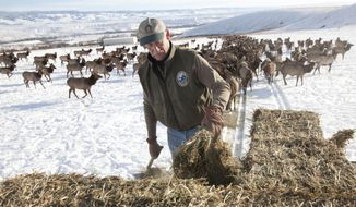 Craig Schnebly feeds hay to elk in Joe Watt Canyon on the L.T. Murray Wildlife Area south of Thorp, Wash. Tuesday, Feb. 11, 2014. Elk feeding started at Joe Watt and nearby Robinson Canyon Feb. 1, the latest feeding has started for elk since he's been doing it for the last 27 years, says Schnebly, who works for the Washington state Department of Fish and Wildlife. Elk are reluctant to come to the feeding area during years of low snowfall such as has occurred this year, says Schnebly. The elk are fed to discourage them from migrating to nearby Timothy hay stacks and hayfields and damaging those areas.  (AP Photo/Yakima Herald-Republic, Gordon King)