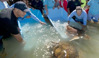 "In this photo provided by the Florida Keys News Bureau, ""Kristi,"" left, and ""Gizmo,"" two loggerhead sea turtles treated at the Florida Keys-based Turtle Hospital, swim to open water off Islamorada, Fla., after being released Friday, Feb. 14, 2014. At left is marine life artist Wyland, and at right, Richie Moretti, the hospital's founder and director. The Valentine's Day release also marked the launch of a cooperative fundraising venture between the Wyland Foundation and Save-A-Turtle, a Keys-based turtle protection organization. (AP Photo/Florida Keys News Bureau, Andy Newman)"