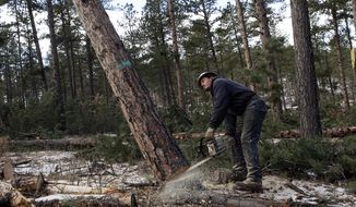 In this Jan. 15, 2014 photo, Norberto Munive cuts down a large pine tree near Sheridan Lake, S.D. The survey conducted by the U.S. Forest Service, South Dakota's Agriculture Department and Wyoming's State Forestry Division measured trees that were infected by pine beetles that left trees in the fall of 2012 and spread to new timber last year. (AP Photo/Rapid City Journal, Chris Huber)